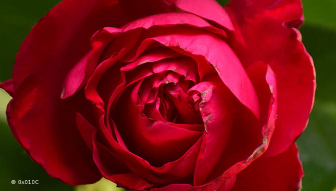 Rose_rouge_01